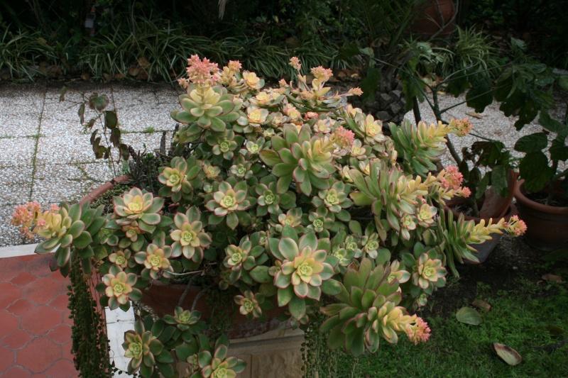 mes  succulentes Aeoniu36