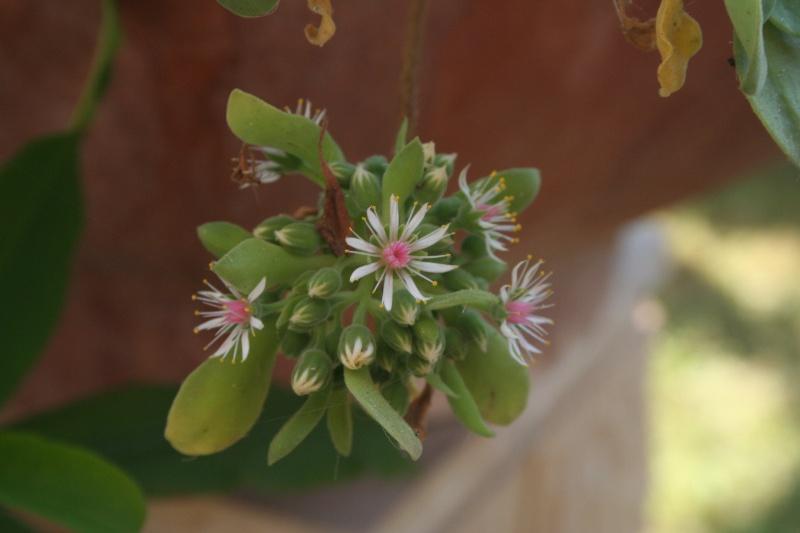 mes  succulentes Aeoniu38