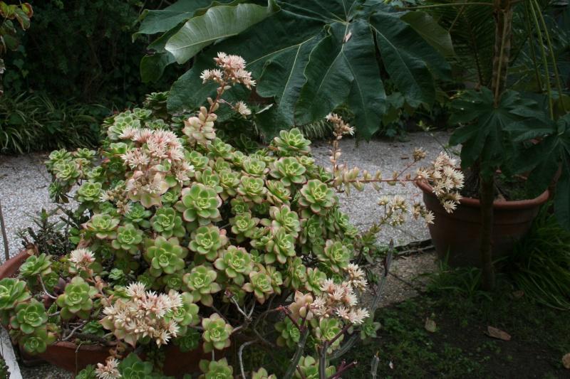 Fleurs de ' Kiwi ' Aeoniu43