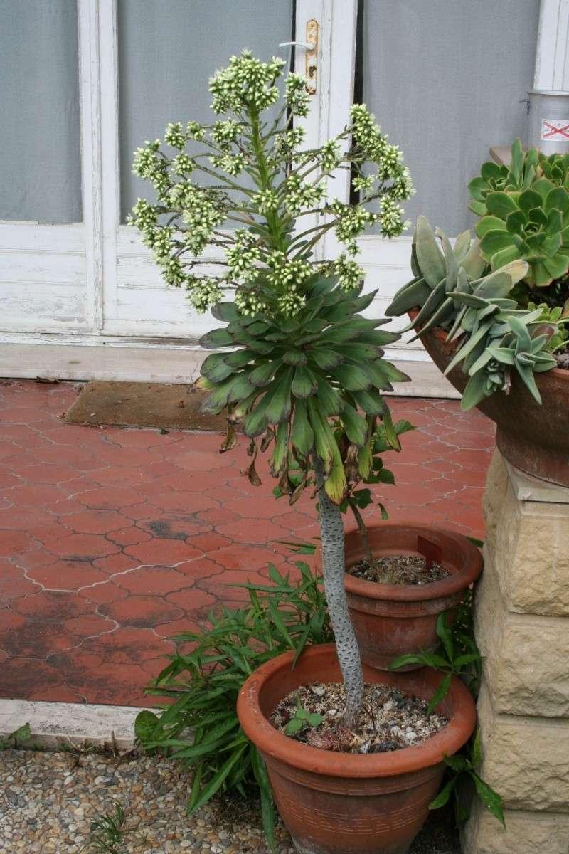 Début de floraison d'une miniature et d'une géante Aeoniu46