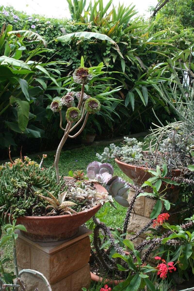 Aeonium arboreum atropurpureum spécial Aeoniu51