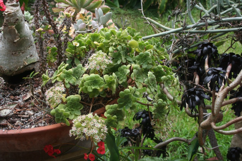 Aeonium arboreum atropurpureum spécial Aeoniu52