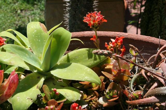 Floraison des Echeveria Agave_13