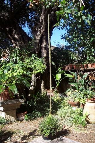 agave Agave_15