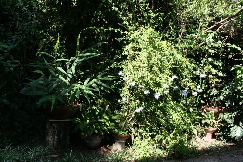 Plumbago auriculata, classique mais toujours beau Allae_10
