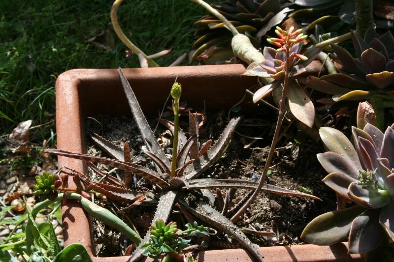 Un joli Aloe sans nom ( Aloe bakeri ) Alo_sp10