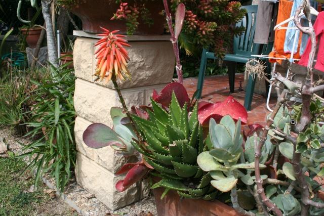 Aloe mitriformis en fleurs Aloe_m12