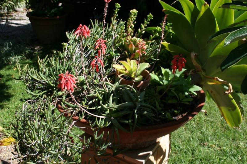 Un vrai Aloe vera en fleurs Aloe_m19