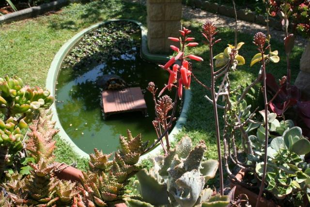 Floraison des Echeveria Aloe_s10