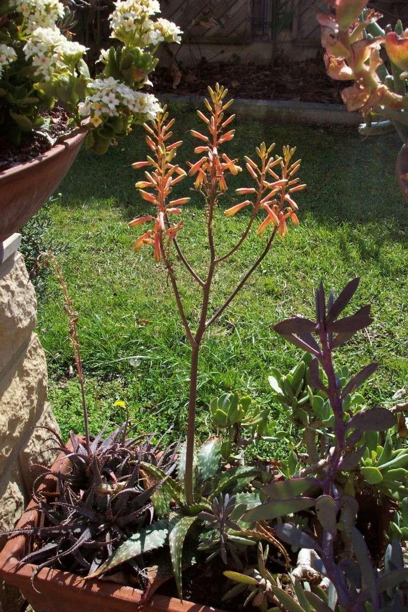 Demande de confirmation pour Aloe somalensis Aloe_s14