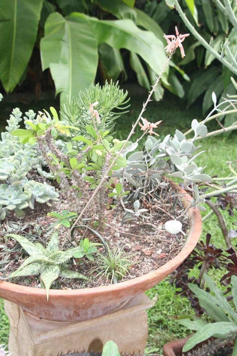 Aloe somalensis en pleine floraison Aloe_s15