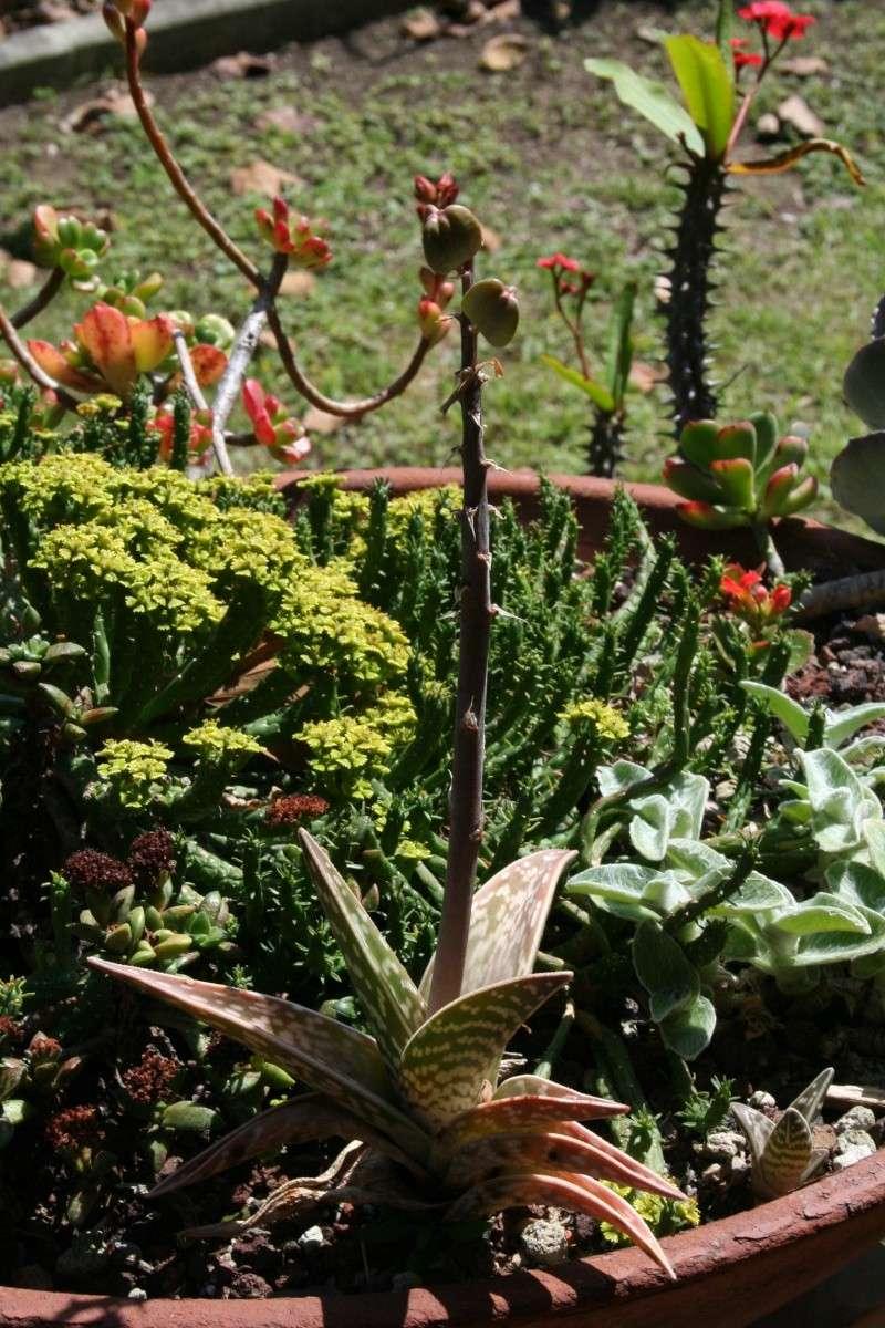 Surprise, des graines sur mon Aloe variegata Aloe_v12
