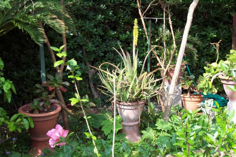 Un vrai Aloe vera en fleurs Aloe_v15