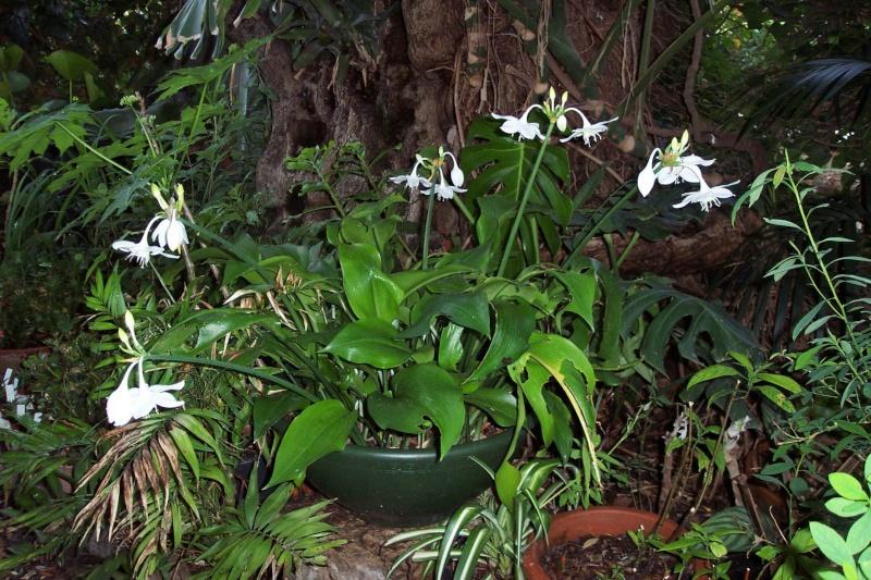 Un beau bulbe amazonien: Eucharis grandiflora Amaryl11