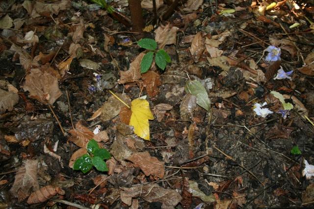 annona reticulata Annona10