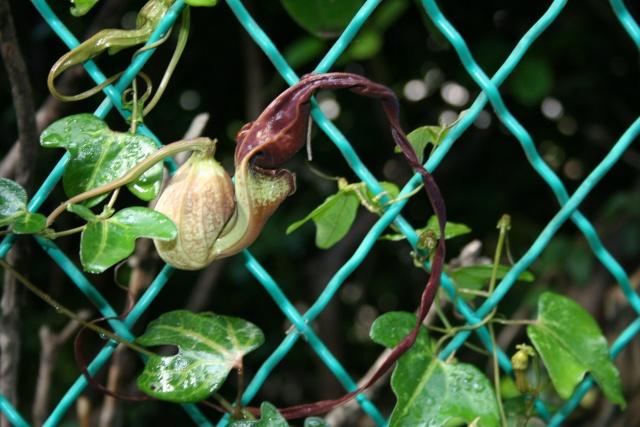 Une autre fleur bizarre ( Trouvée : aristolochia triloba ) Aristo10