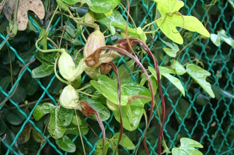 Aristolochia trilobata, des fleurs vraiment curieuses  Aristo33