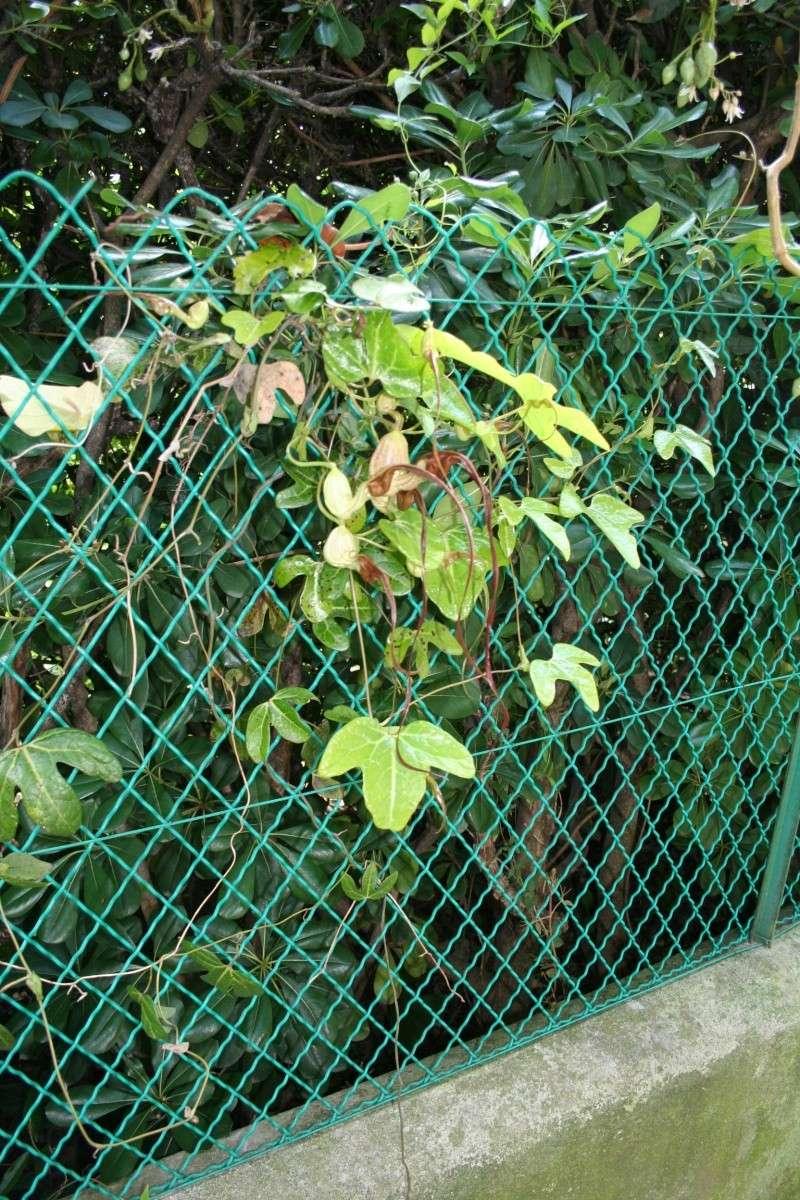 Aristolochia trilobata, des fleurs vraiment curieuses  Aristo34