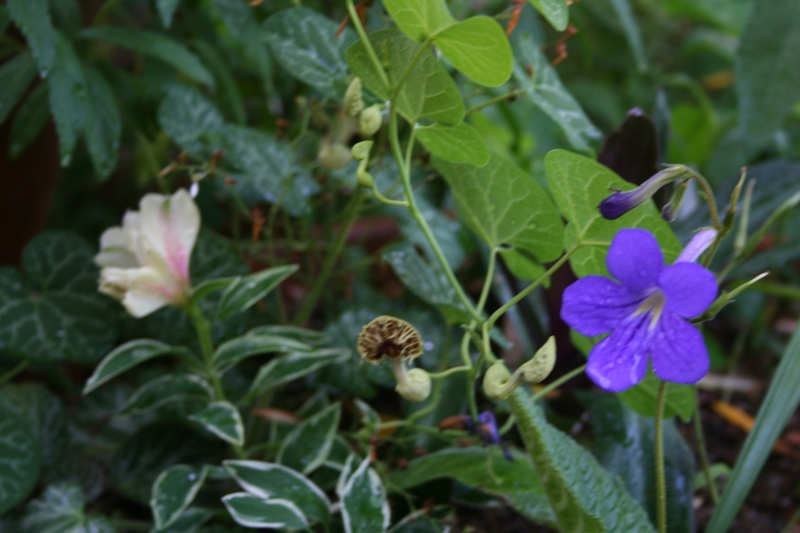 Aristolochia fimbriata, enfin j'ai vu une fleur Aristo39