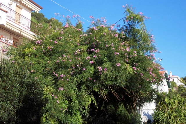 Pandorea jasminoides Ballad10
