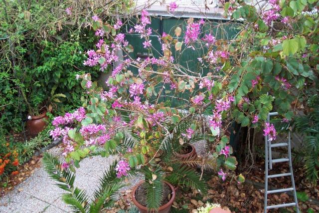 Bauhinia (L'arbre à orchidées) Bauhin10