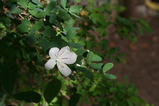 Bauhinia (L'arbre à orchidées) Bauhin12