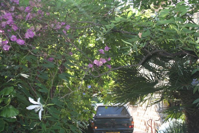 Splendeur immaculée de l'été, Bauhinia forficata Bauhin29