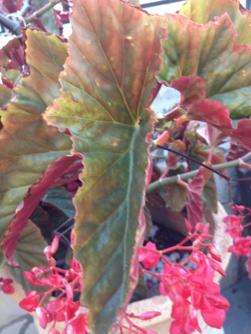 Un Begonia vu en Crète Begoni15