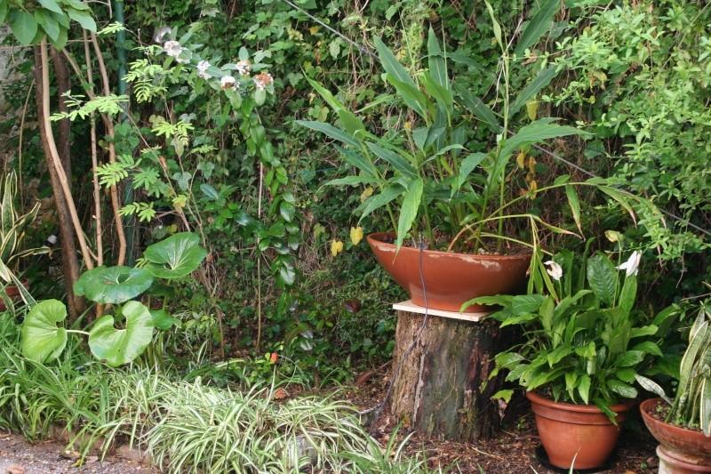 chlorophytum comosum  Bout_d16