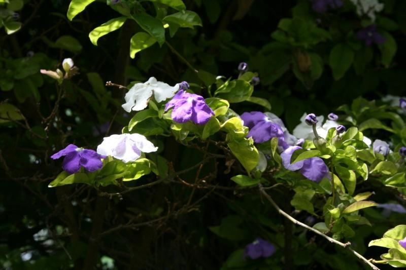 Extraordinaire Jasmin du Paraguay = Brunfelsia australis Brunfe19