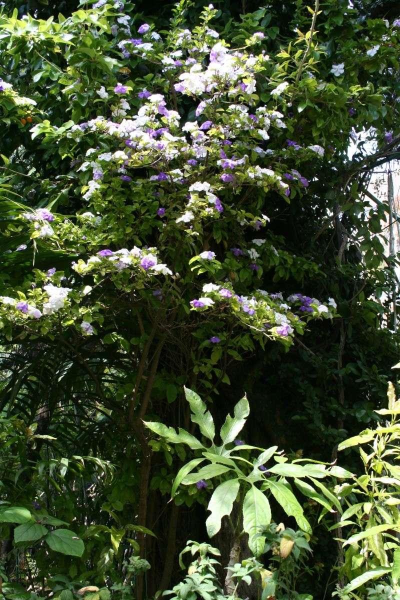 Extraordinaire Jasmin du Paraguay = Brunfelsia australis Brunfe24