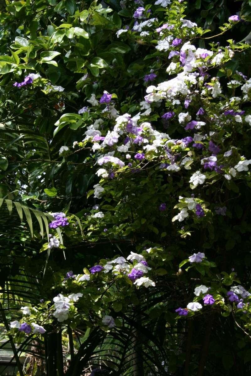 Brunfelsia australis, le jasmin du Paraguay Brunfe25