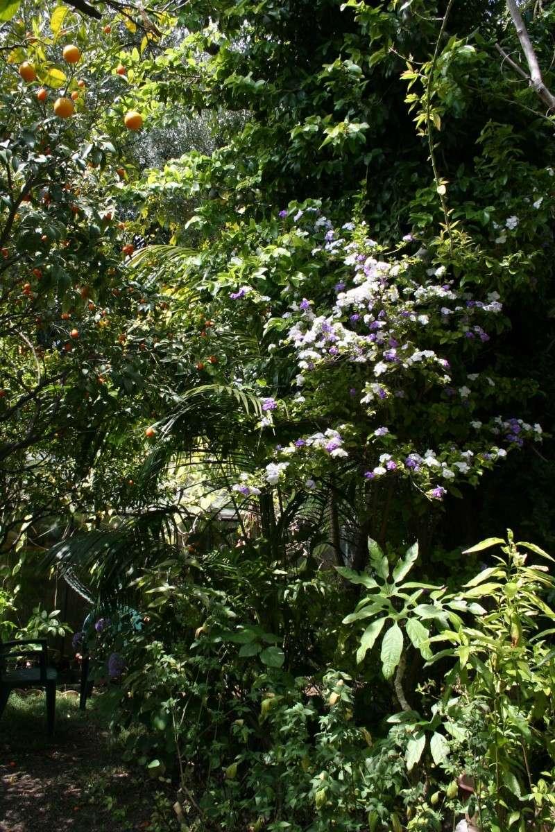 Brunfelsia australis, le jasmin du Paraguay Brunfe26