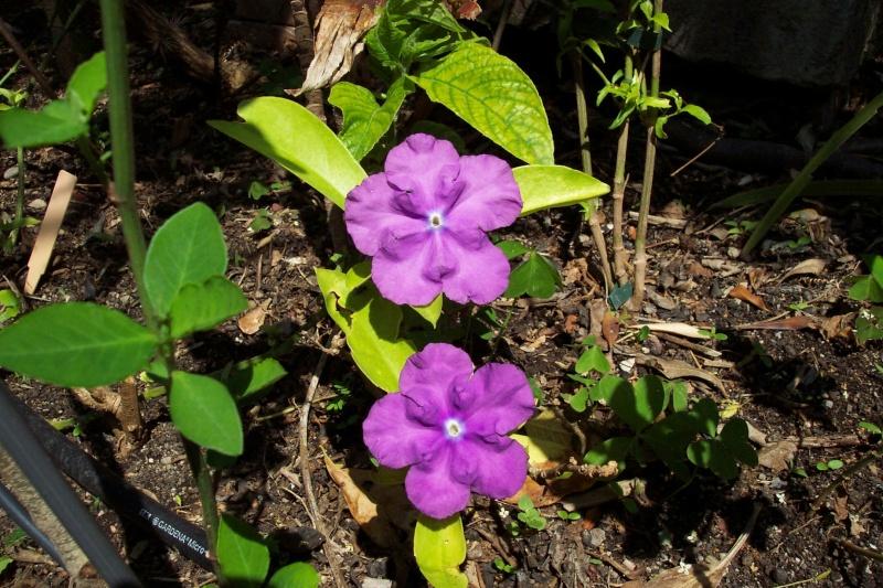 Extraordinaire Jasmin du Paraguay = Brunfelsia australis Brunfe27