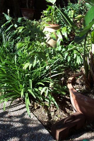 Identification [Castanospermum australe] Castan10