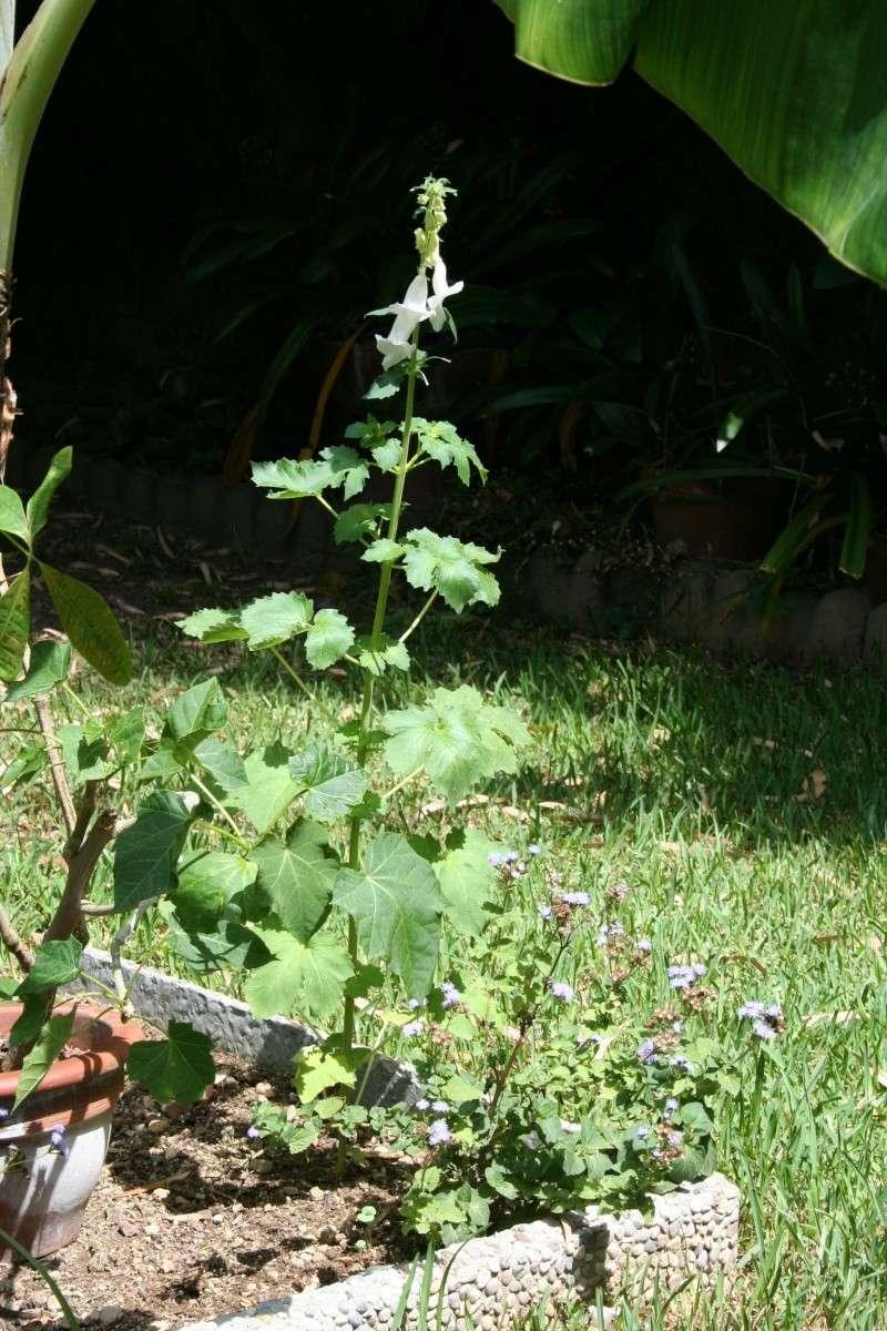 Une annuelle originale : Ceratotheca triloba Cerato10