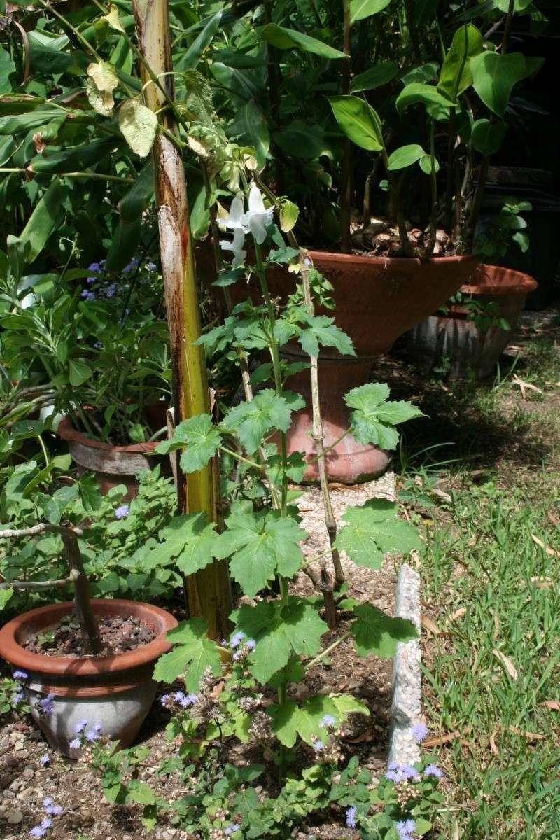 Une annuelle originale : Ceratotheca triloba Cerato12