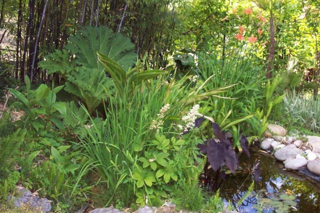 Gunnera manicata (Rhubarbe géante du Brésil) Chez_m10