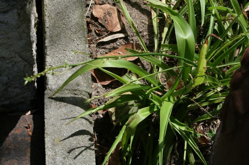 chlorophytum comosum  Chloro10