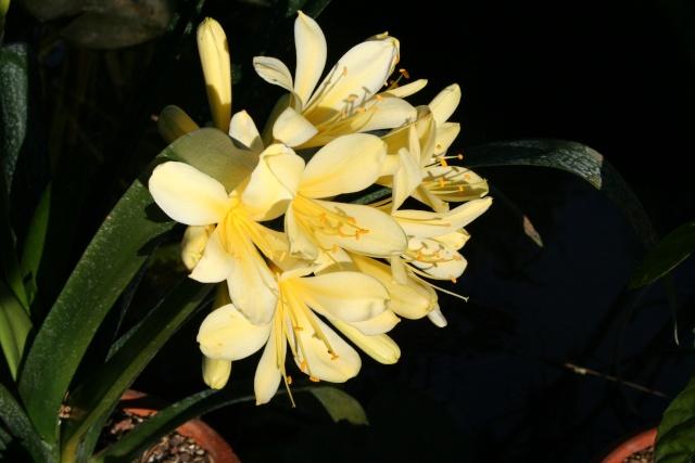 Clivia miniata ' Aurea ' Clivia15