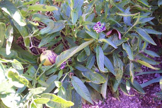 Solanum muricatum , la poire melon. Clos_d13