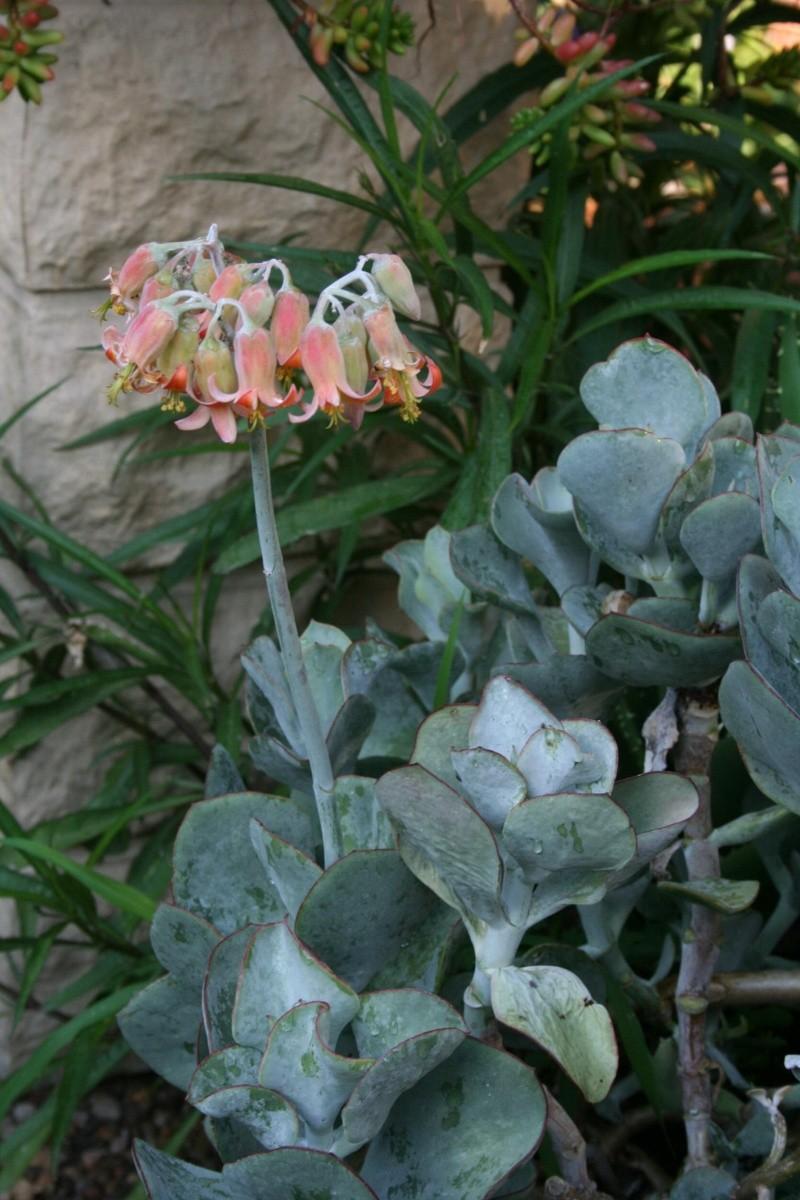 COTYLEDON orbiculata var.flanaganii Cotyle12