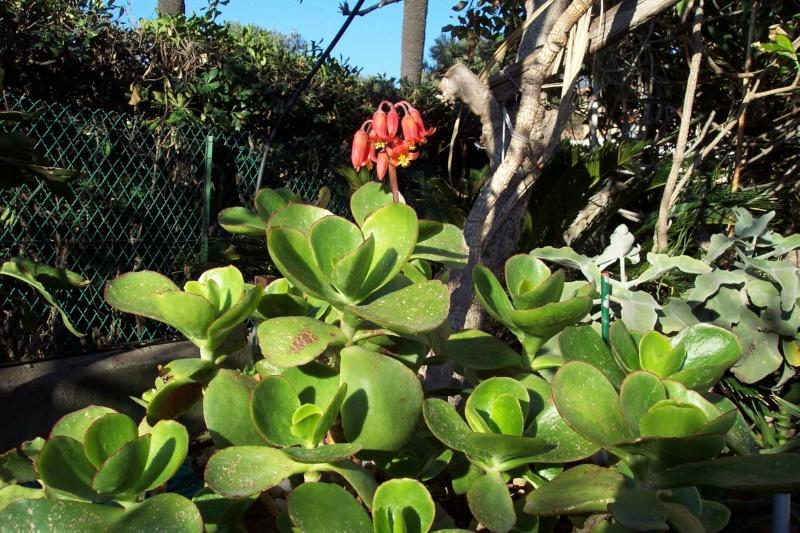 COTYLEDON orbiculata var.flanaganii Cotyle13