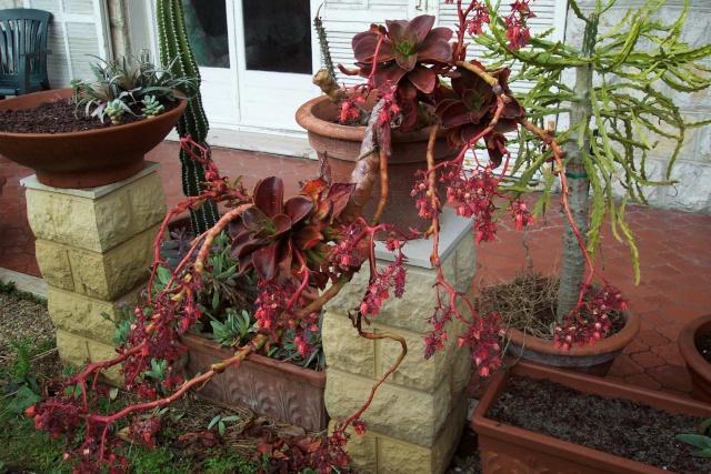 Floraison des Echeveria Crassu19