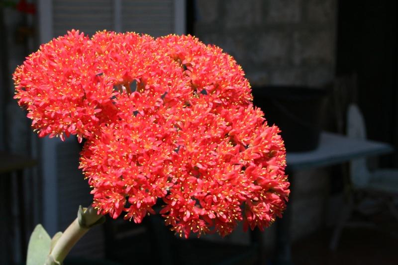 Crassula perfoliata var falcata, impressionnante Crassu24