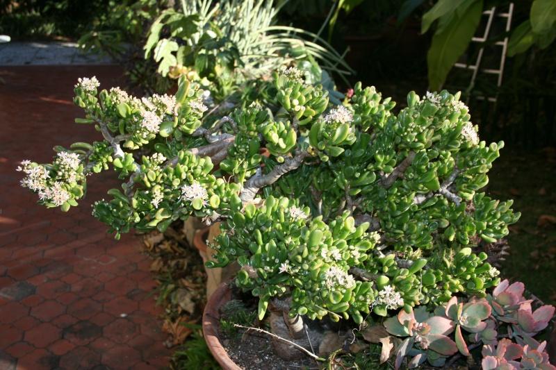 Crassula ' Gollum ' bien fleurie Crassu31