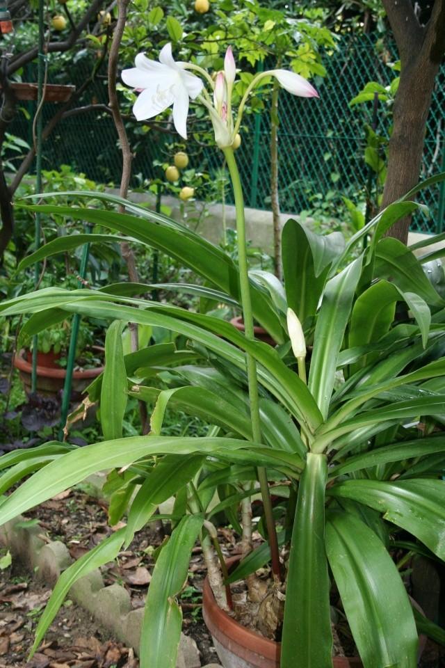 quand peut-on sortir les plantes d'interieur? Crinum11