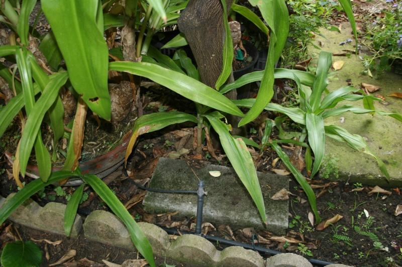 Crinum moorei medio picta (variegata) Crinum24