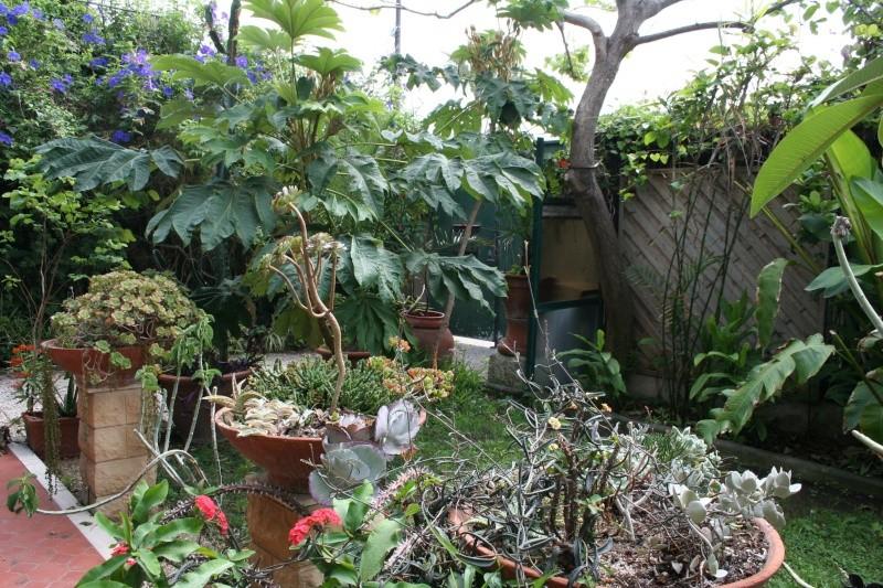 Aeonium arboreum atropurpureum spécial Dabut_11