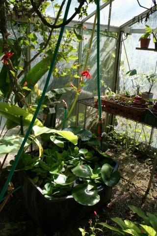 Jacinthe d'eau (Eichhornia crassipes) Devant10